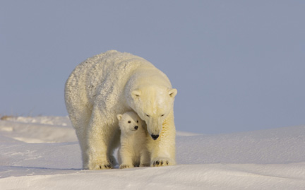 large-Polar-Bear-photo.jpg