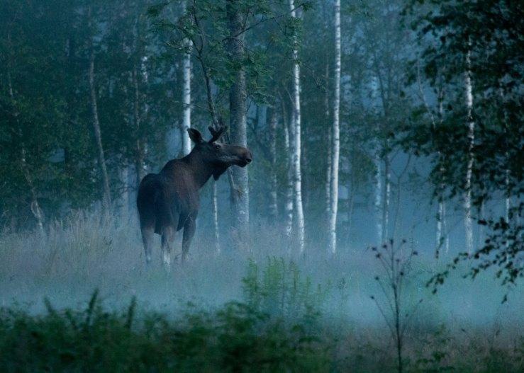 9a17815658c943a0806c3ccc7440595bPhoto_Jan_Nordstrom_Moose_2