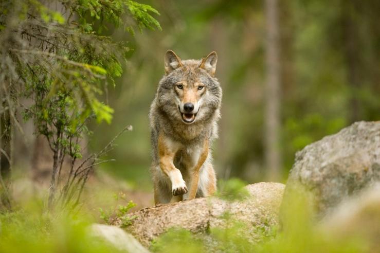Glenn_Mattsing_wolf