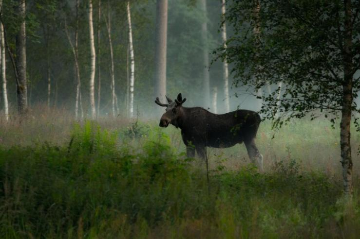 Photo_Jan_Nordstrom_Moose_3_lg