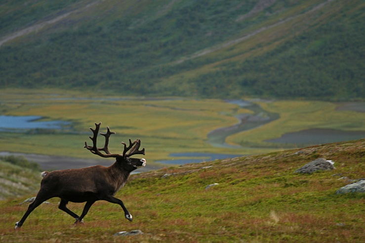 Wildlife_expedition_sarek_national_park_3_lg